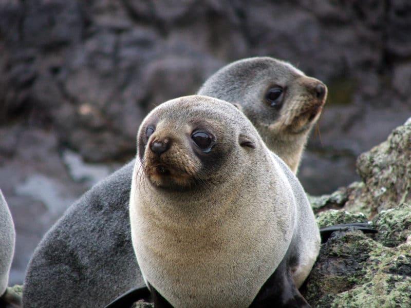 new zealand wildlife fur seals