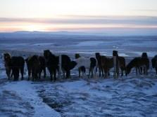 icelandic-horses-and-scenery-23