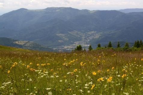 4 Arnica Vosges
