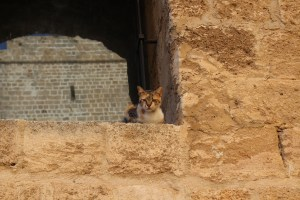 Cats of Israel