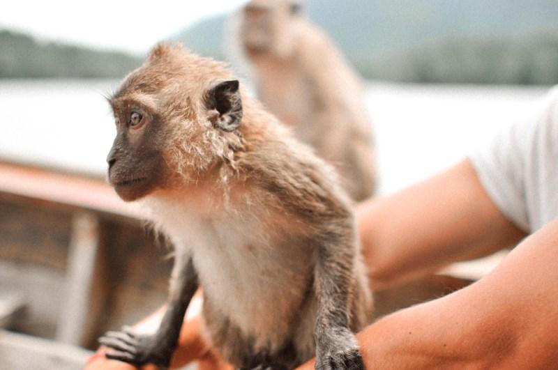 Koh Lanta Monkeys and Mangroves