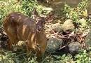 Avistan ejemplar de ciervo en zona de cementerios municipales de Córdoba.