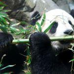 Panda – velmi špatně adaptovaný medvěd