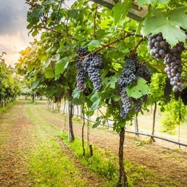 Kam vyrazit na vinobraní?