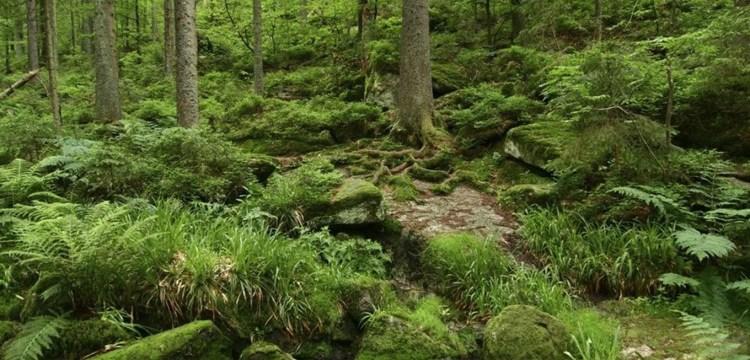 Stále divoký svědek historie: Boubínský prales