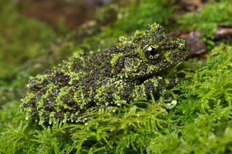 2. Žáby: Některé druhy žab se ve svém přirozeném prostředí dokážou stát prakticky neviditelnými. Hlavně pralesním druhům, které nemají na svou obranu jedové žlázy, nic jiného nezbývá. Dokáží díky svému vzezření naprosto věrně napodobit tlející listí. Některé druhy mají dokonce výrůstky na těle připomínající svým tvarem hrany listů či stopky.