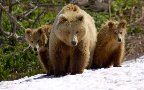 Brown Bear (Ursus arctos) mother with cubs, Valley of the Geysers, Kronotsky Zapovednik, Russia