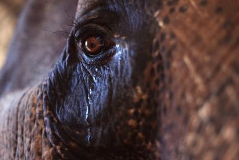 """Sloni opravdu pláčou, při vypjatých situacích roní """"slzy"""" pomocí temporální žlázy mezi okem a uchem."""