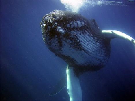 Vědci odhadují, že tajemná velryba by mohla být křížencem plejtváka. S určitostí to ale říct nedokáží.