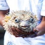 Fugu: Ksmrti dobré sashimi