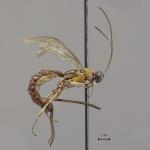 V Amazonii byl objeven nový druh vosy s obřím žihadlem