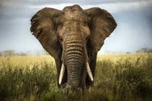 Slon: Majestátní vládce savan!