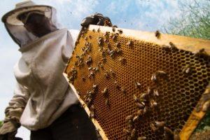 Jak včely vyrábějí med?