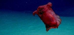 Hloubky oceánů nepřestávají udivovat: Další podivné zvíře zachyceno na kameru