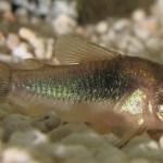 Při pití spolkl živou rybu: Skončil na operačním sále!