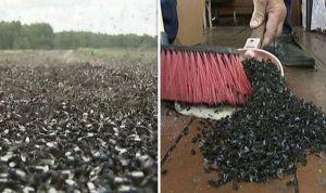 Ruský region zaplavily mouchy. Kvůli špatnému hnojivu