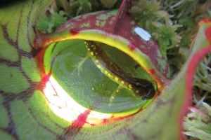 Nejen bezobratlé. Masožravé rostliny stráví i salamandera