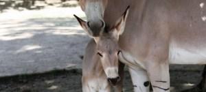 V liberecké zoo se narodila mláďata kriticky ohroženého gibona a osla