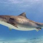 Jak se zpěvní ptáci dostali na jídelníček žraloků tygřích?