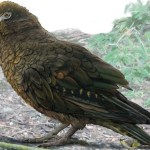 Pozůstatky největšího papouška byly nalezeny na Novém Zélandu