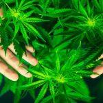 Způsobuje marihuana schizofrenii?