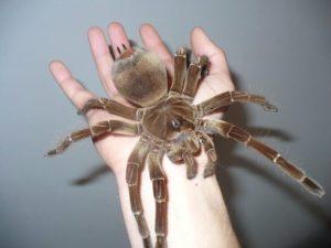 Jak velký je největší pavouk na světě?