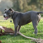 Jsou nějaká psí plemena ve světě zakázána?