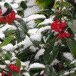 Půvabná cesmína: Symbol Vánoc i pořádně jedovatá nádhera