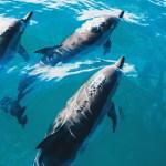 Proč se žraloci bojí delfínů?