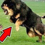 Nejsilnější psi na světě: Pořídili byste si je?