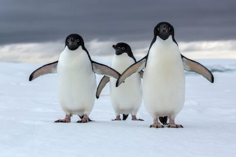 Adélie penguin (Pygoscelis adeliae)