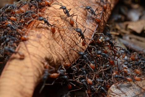 Mravenci v první linii ženou ty nejslabší a nejmenší kusy, kteří při sebevražedném útoku rozruší nepřátelskou linii a vyčerpají nepřátele.