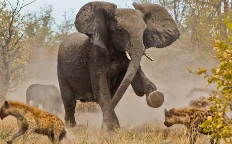 Často se také stává, že slon brání tělo mrtvého druha před hyenami a mrchožrouty.
