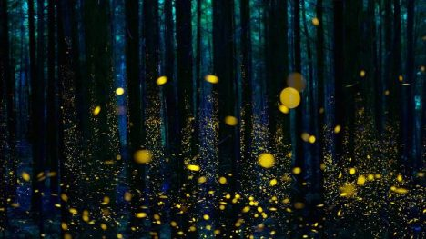 Fireflies-illuminate-a-forest-in-Shikoku-Japan-20170124