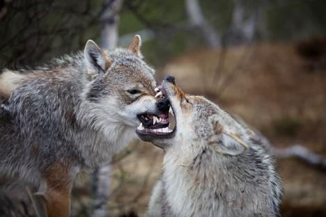 Ani vlk, který se narodil v zajetí a byl celý život vychováván lidmi, není 100% předvídatelný a může být nebezpečný.