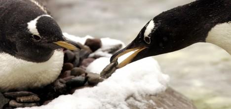 Tučňáci si staví hnízda z kamínků, ty jsou ale na pustých antarktických pláních nedostatkovým zbožím.
