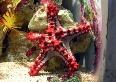 Hvězdice se pohybují pomocí stovek panožek, které se pohybují díky tomu, že je do nich pumpována voda.