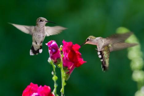 Samci kolibříků často obsadí ty nejvýživnější květy, samičkám proto nezbývá, než se jim nabídnout výměnou za jídlo.