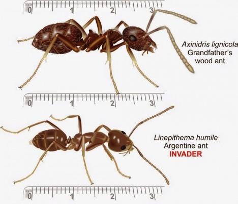 Porovnání velikostí mezi lesním mravencem (nahoře) a mravencem argentinským (dole). Co ztrácí na velikosti, to nahrazuje počtem a spoluprací.