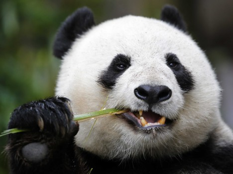 Pandy jedí 14 hodin denně a zbytek času prospí. Na místa, kde našly dostatek potravy, se s oblibou vracejí.