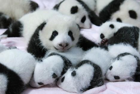Pandy se dožívají až 30 let a rodí 1 až 2 mláďata. Za posledních 10 let se jejich populace zvýšila o 17 %.
