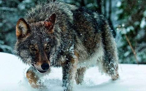 Vlci jsou méně ochotní ke spolupráci s lidmi. Mají extrémně silné instinkty, které mohou zapříčinit i neočekávané útoky na lidi.