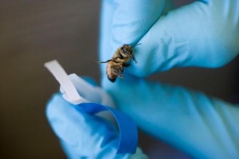 Výzkumy ukázaly, že úly trpící syndromem rozpadu včelstev, byly nakaženy specifickým druhem viru.