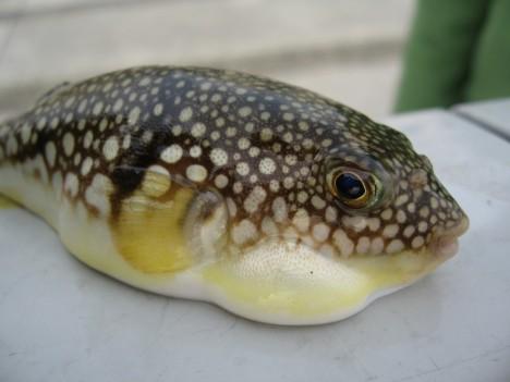 Young_species_of_Tetraodontidae_(fugu)