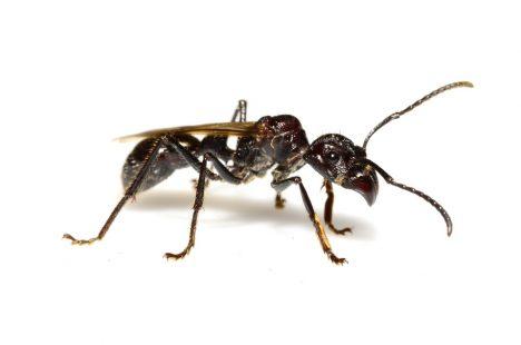 býčí mravenec