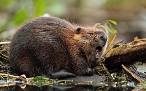 Sušená bobří varlata Kdy a kde?: Kanada, 16. století V kanadských osadách se před staletími vžilo rčení, které by se dalo přeložit jako: Nechejte to na bobrovi. Tamější ženy totiž věřily, že početí se dá zabránit pomocí sušených bobřích varlat. Stačilo je po usušení rozdrtit a udělat z nich vývar. Později se z varlat vyráběla i tinktura pomocí alkoholu. Šlo samozřejmě jen o pověru.