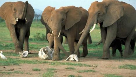 Pokusy ukázaly, že sloni jsou bezpečně schopní poznat lebky svého vlastního druhu, od jiných zvířat.