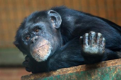Šimpanz je nejbližším evolučním příbuzným člověka. Kde jsme se ale od opic oddělili a proč?