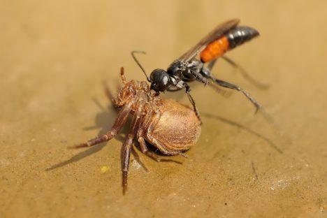 Hrabalky jsou příbuzné s vosami, které loví výhradně pavouky. Troufnou si přitom na kusy daleko větší, než jsou ony samy. Při lovu kořist paralyzují žihadlem, ale neusmrtí ji. Slouží totiž jako potrava pro jejich larvy. I když je jejich jed méně toxický než například u vosy, je potřeba dávat si velký pozor. Bodnutí hrabalky je totiž jedno z nejbolestivějších v říši hmyzu vůbec.