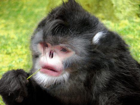 Na první pohled to vypadá, jako by tomuto primátovi chyběl nos. Ve skutečnosti je to ale tak, že jeho nosní dírky mají obrácený tvar. V období dešťů tak těmto opicím doslova prší do nosu a musejí opakovaně kýchat, aby se vody zbavily. Opice se však naučili přečkat déšť tak, že se předkloní a schovají hlavu mezi kolena. Zajímavé také je, že mají ocas jeden a půl krát delší než tělo.